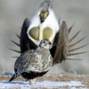 Sage Grouse may be listed as endangered species