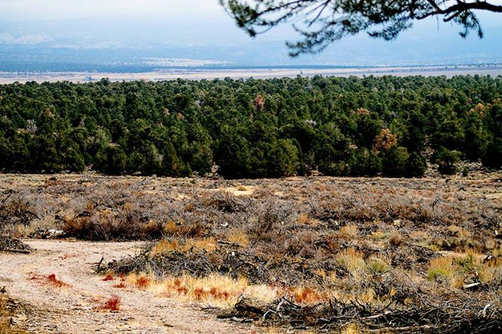 More than 70 acres of pinenut and cedar trees were cut.