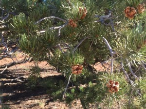 Pinyon cones Photo by Katie Fite