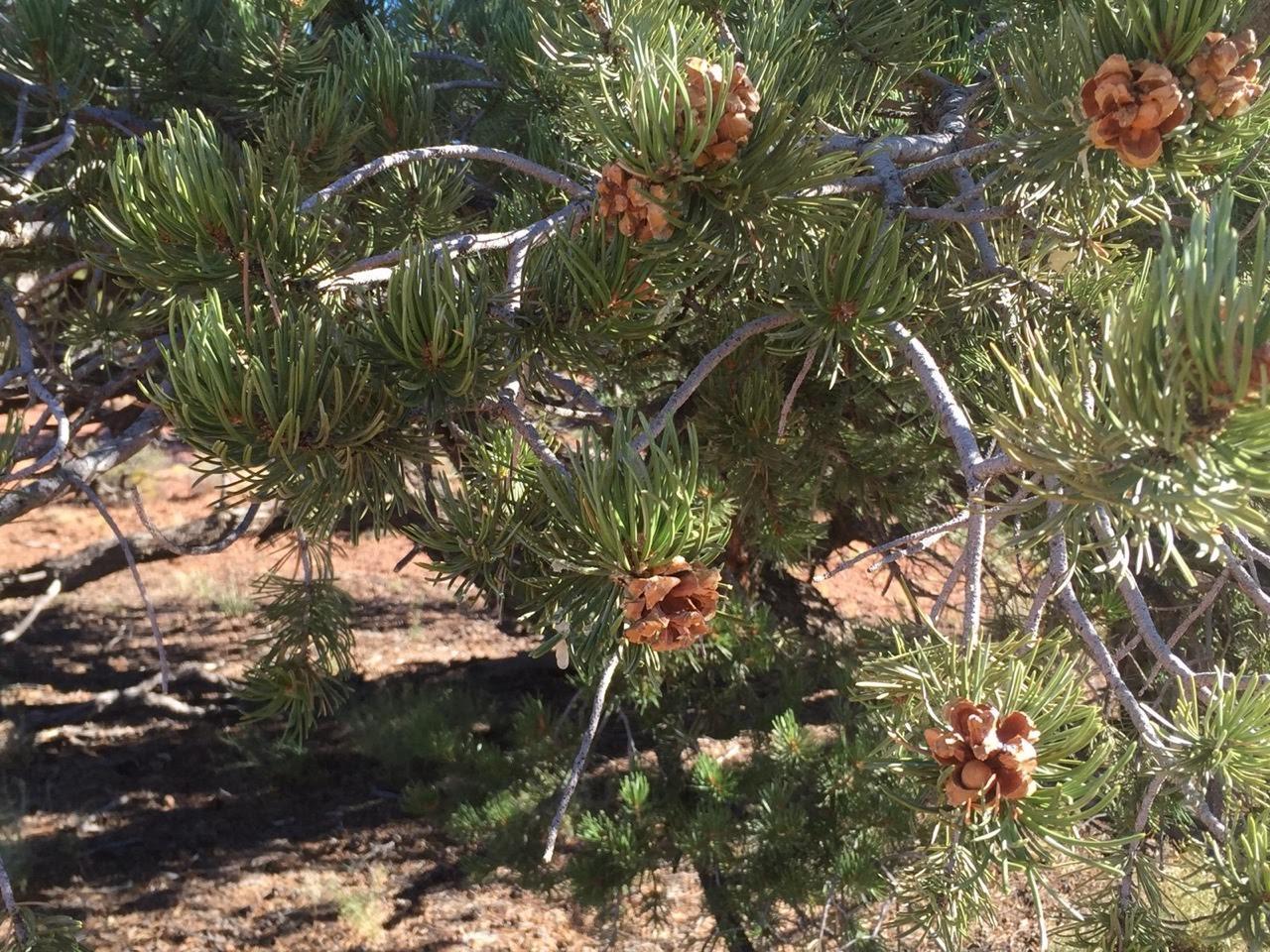 The language of pinyon juniper trees deep green for The juniper